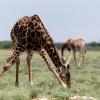 Makgadikgadi Pan, giraffes
