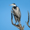 Black-headed heron, St. Lucia