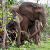 Chobe NP, Elefant
