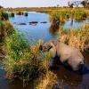 Elefant Okavango