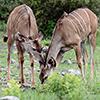 Chobe NP, Kudu