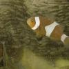 Anemonenfische orange, Falscher Clownfisch