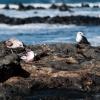 Lanzarote seagull food