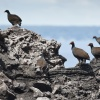 Papua New Guinea, Rabaul, Tavurvur, Bismarck-Hühner