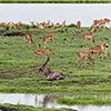 Chobe NP, Wasserbock, Impala