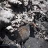 Papua-Neuguinea, Rabaul, Tavurvur, Bismarck-Hühner