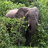 Chobe NP, Afrikanischer Elefant