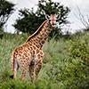 Nxai Pan, Giraffen