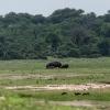 Chobe NP, Flusspferd