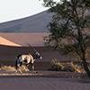 Namib Oryx antelope