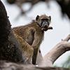 Chobe NP, baboon