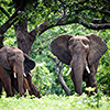 Chobe NP, Elefantenbulle