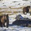 Kamtschatka, Tolbatschik, Bären