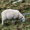 Scotland sheep