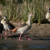 Egyptian geese, St. Lucia