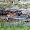 Chobe NP, Impala