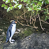 New Zealand, Doubtful Sound, penguins