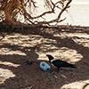 Namib white-necked raven