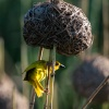 weaver bird, St. Lucia
