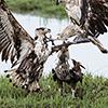 Chobe NP, fish eagle