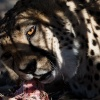 Botswana, Kalahari Transfrontier, Cheetah