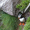 Iceland, Atlantic Puffin, Lundi