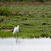 Nxai Pan, great white egret