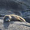 Neuseeland, Doubtful Sound, Seelöwe