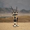 Namib Oryx-Antilope