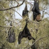 Tonga, Flying Foxes