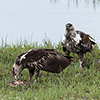 Chobe NP, fish eagle