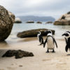 Jackass penguins at Boulders Beach